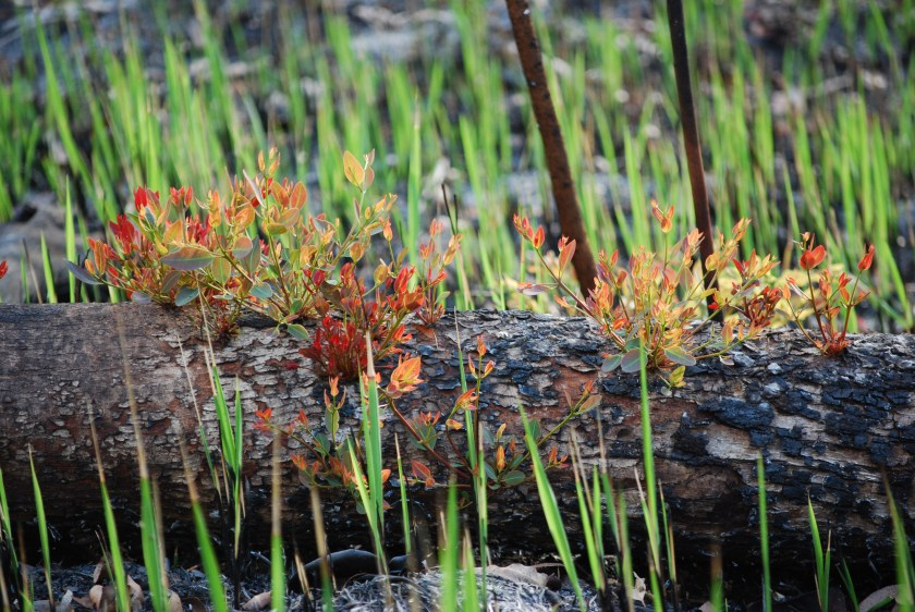 Plants resprouting from a tree trunk after fire