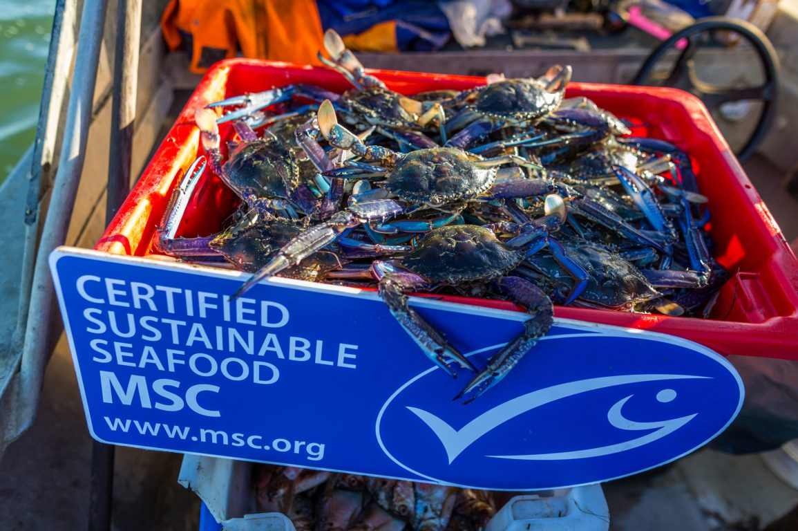 Blue swimmer crabs in a crate labelled as Certified Sustainable Seafood MSC with the blue tick