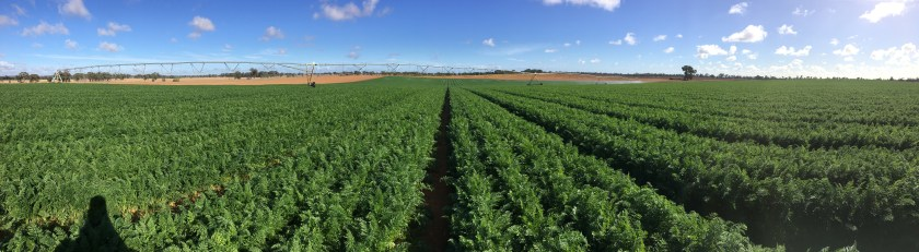 A lush green Kagome field of carrots. Image by Kagome