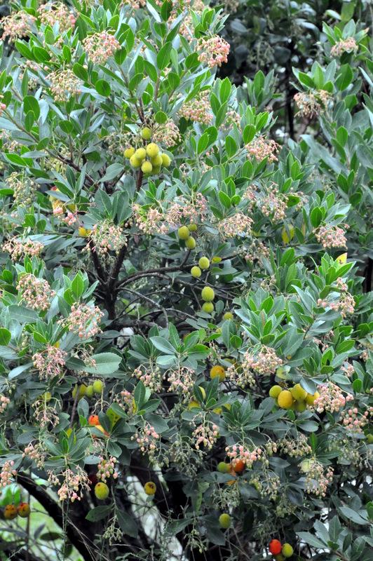 Medronheiro com flores e frutos