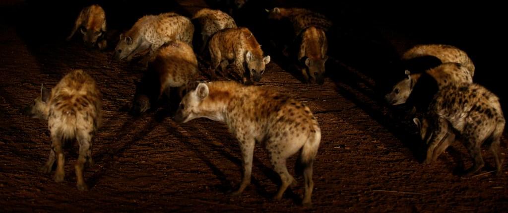 la jauría sale a cazar en manada