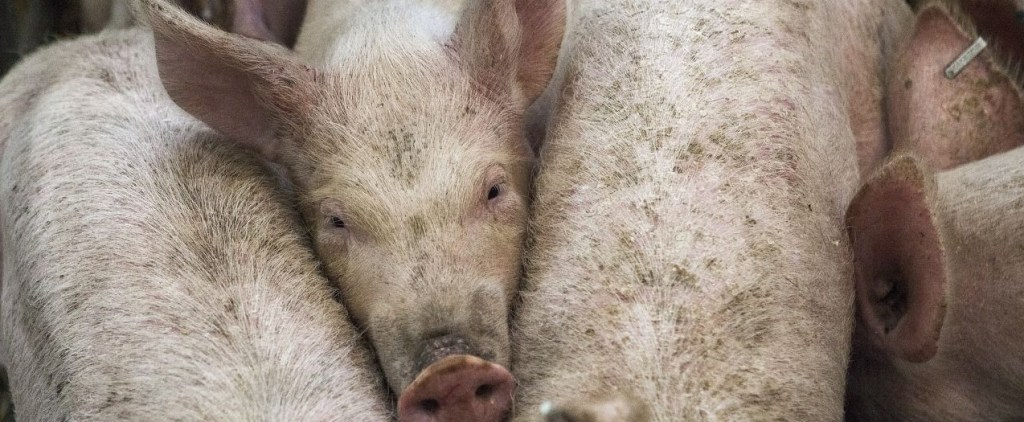 de vacas, cerdos, purines y reformas estructurales