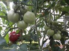 томат Пани Яна