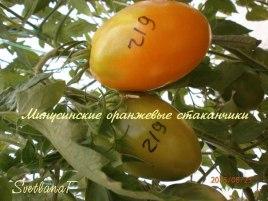 томат Минусинские оранжевые стаканчики