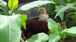Chicks being raised in JA forest.