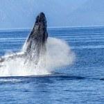 Whale Watching vor Island mit umweltfreundlichem Elektroboot