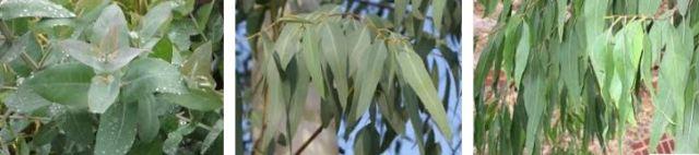 planta del eucalipto