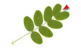 rýchlosť datovania korok Briar ruže