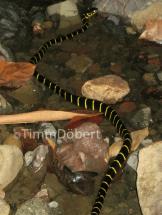 Mangrove snake (Boiga dendrophila)