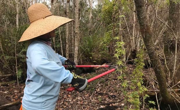 Cutting-lygodium-vine-EnvironmentalConsulting Fellsmere Florida