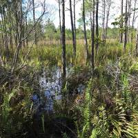 hydric-pine-flatwood-environmental-consulting-Vero-Beach