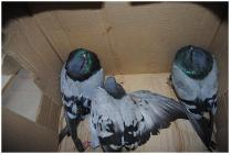 tres palomas rescatadas