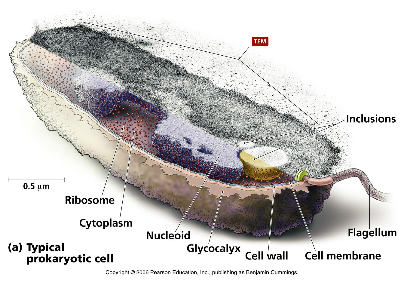 Chapter 2 Microscopy Basics And An Introduction To Cells