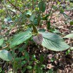 Viorne lantane Bourgeon et feuilles Ecouteta nature