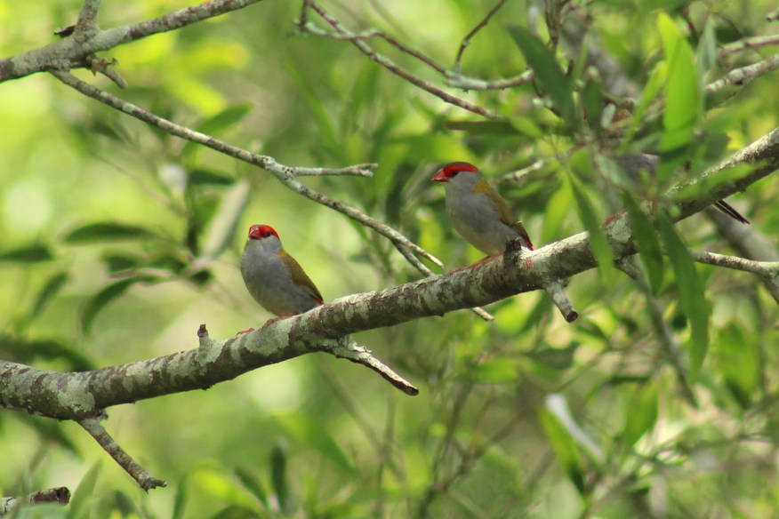 IMG_2083 two finches (cropped, contrast added)