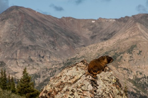 Marmot in Holy Cross Wilderness, Colorado