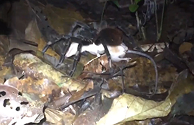 Dinner plate sized tarantula feasts on a possum