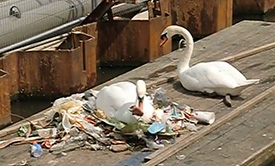 Amsterdam white swans made a nest of garbage