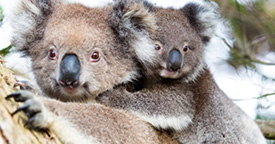 "Koalas now ""functionally extinct"""