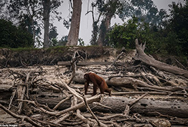 Endangered orangutans made homeless as farmers ..