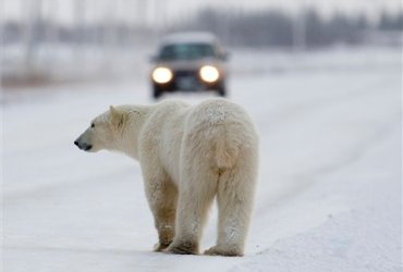Churchill, Canada: more polar bear than people