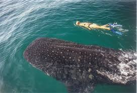 Swim with Whale Sharks in Cancun