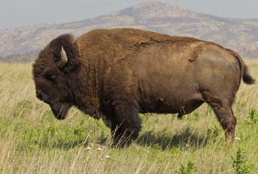 The Bison is Our New National Mammal
