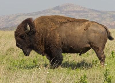 american bison national mammal