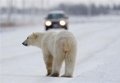 polar bear Churchill@ecoxplorer