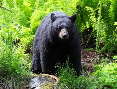 black bear@ecoxplorer