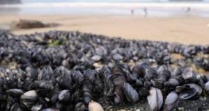 Νέα Ζηλανδία: Χιλιάδες μύδια νεκρά σε παραλία από τον καύσωνα