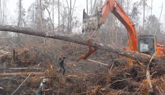 Ουρακοτάγκος εναντίον μπουλντόζας για να σώσει το σπίτι του (Βίντεο)