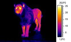 250px-Wiki_lion