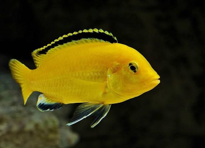 Ikan Hias Air Tawar - Ikan Lemon