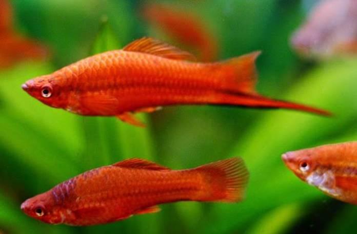 Ikan Hias Air Tawar - Ikan Pedang