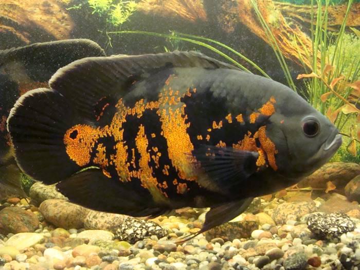 Ikan Hias Air Tawar - Ikan Oscar