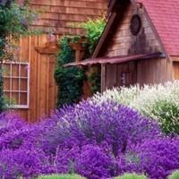 Benih Bunga Lavender Cina - China Lavender