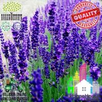 HERBS - Benih LAVENDER HIDCOTE BLUE IMPORT tanaman bibit bunga lavende