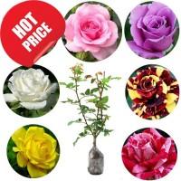 Bibit Tanaman Bunga Mawar 10 pohon Berbunga / 1 paket /1 kg + BONUS