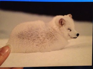 Adorable white Arctic Fox on snow.