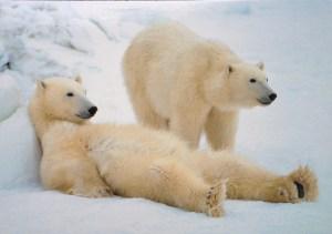 Image of two polar bears