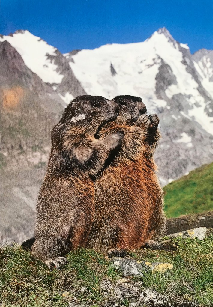 Image of two whistle pigs, apparently cuddling
