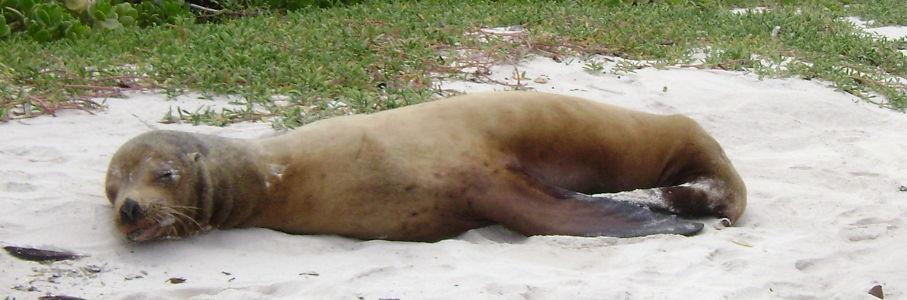 Lobo Marino en Santa Cruz.