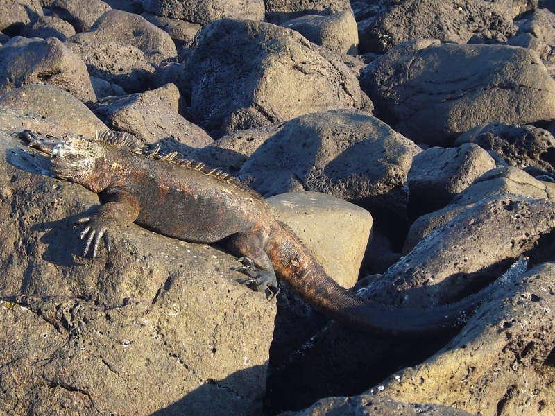 Amblyrhynchus cristatus tomando sol encima de algunas rocas.