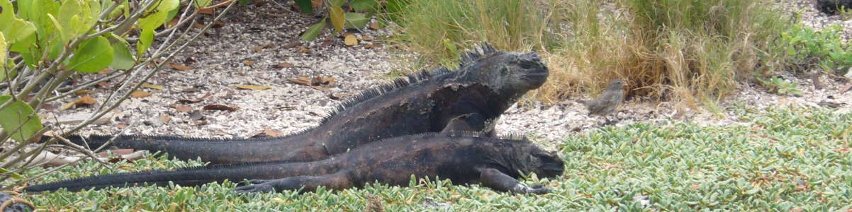 Iguanas Marinas, Bahía Tortuga, Santa Cruz.