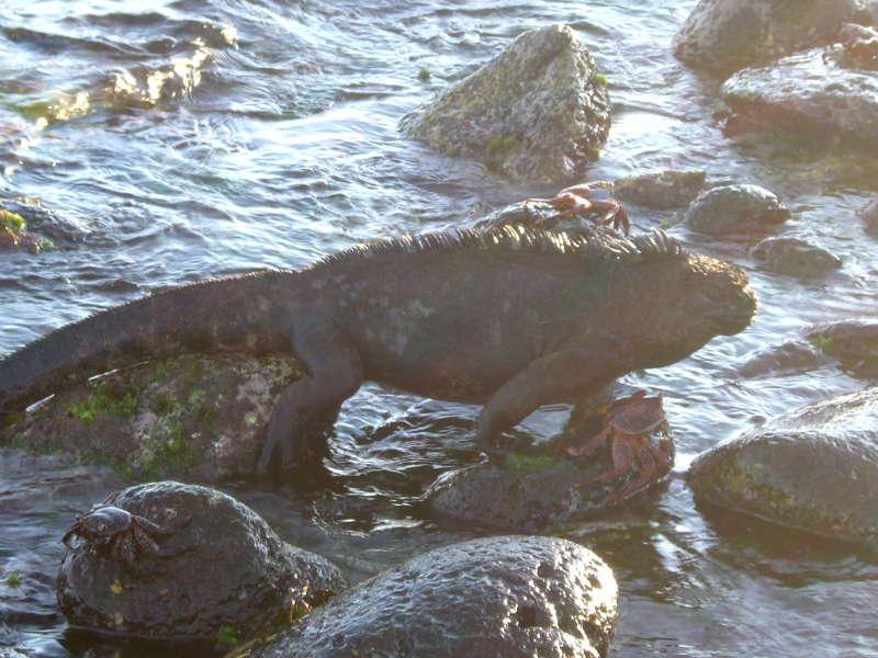 Iguana saliendo del mar.