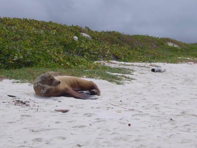 Lobo Marino en la playa de Bahía Tortuga, Santa Cruz.