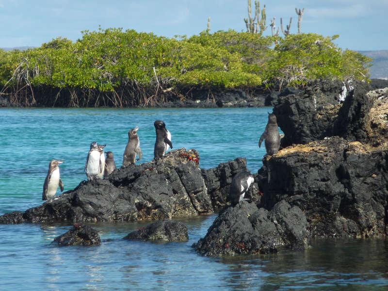 Pingüinos en la isla Isabela.