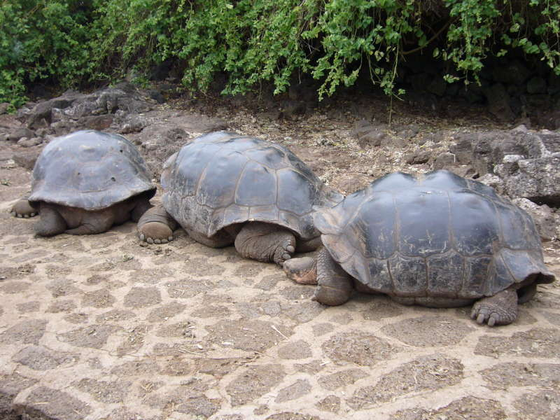 3 Tortugas Gigantes en la estación Charles Darwin, Puerto Ayora.