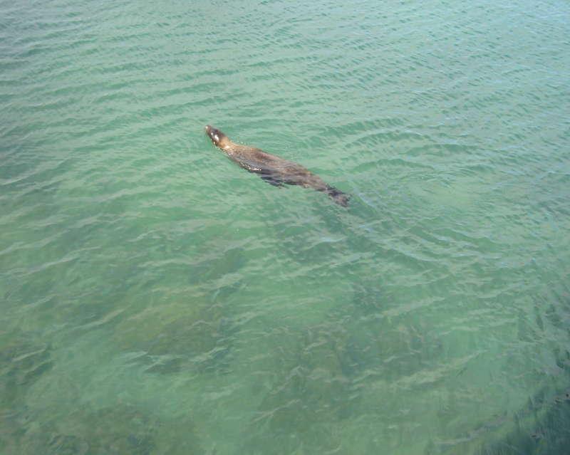 Lobo marino nadando en el mar.